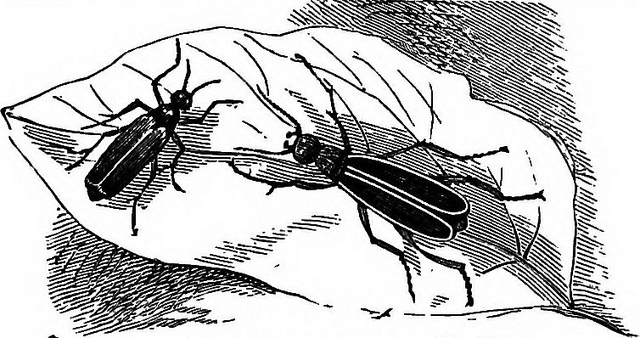 drawing of Cantharis Vesicatoria, the Spanish Fly